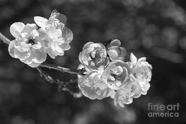 Photograph - Winters Day Prunus Blossom by Joy Watson
