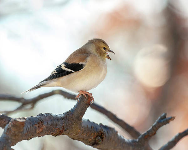 Photograph - Wintry Goldfinch Song by Lara Ellis