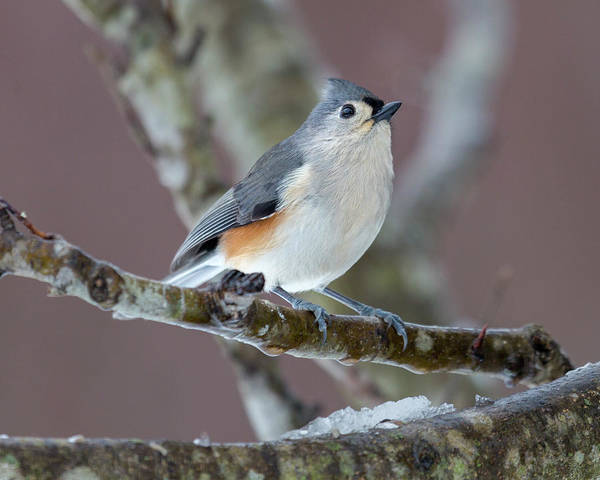 Wall Art - Photograph - Wintry Virginia Titmouse by Betsy Knapp