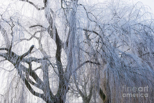 Wall Art - Photograph - Wintry Weeping Willow by Tim Gainey