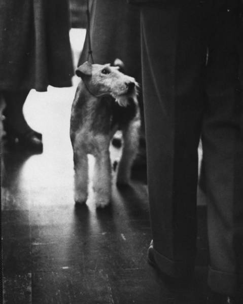 Fox Terrier Wall Art - Photograph - Wire Haired Fox Terrier, Standing In Cro by Nina Leen