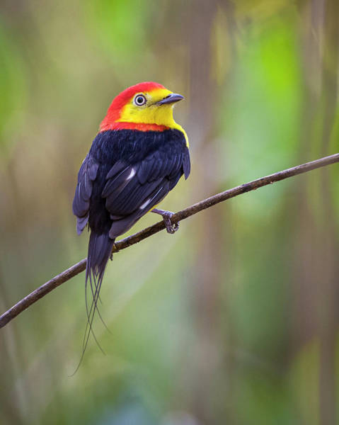 Photograph - Wire Tailed Manakin La Palmita Casanare Colombia by Adam Rainoff