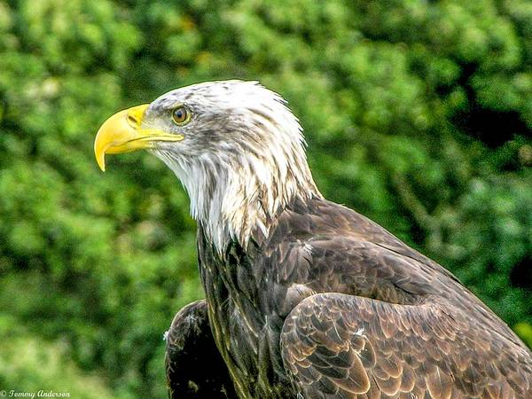 Vernon County Photograph - Wisconsin Bald Eagle by Tommy Anderson