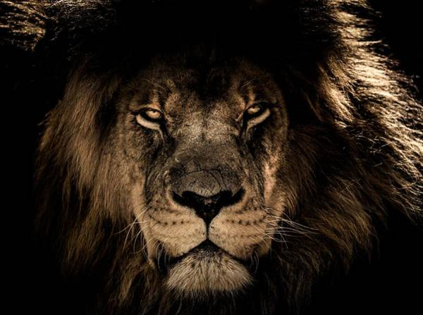 Photograph - Wise Lion by Top Wallpapers