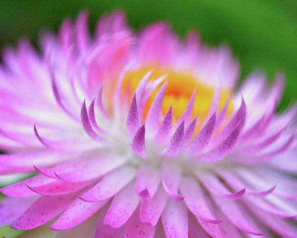 Photograph - Wishes In Pink  by Susan Callaway