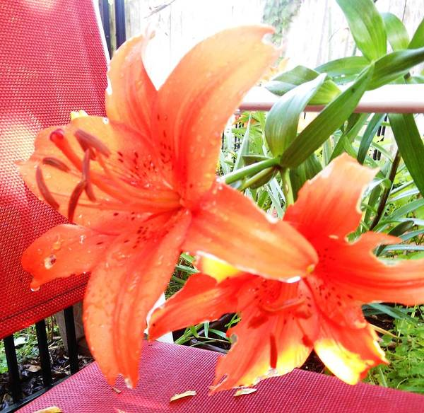 Hurricane Lily Photograph - Wishful Thinking by Lord Frederick Lyle Morris - Disabled Veteran