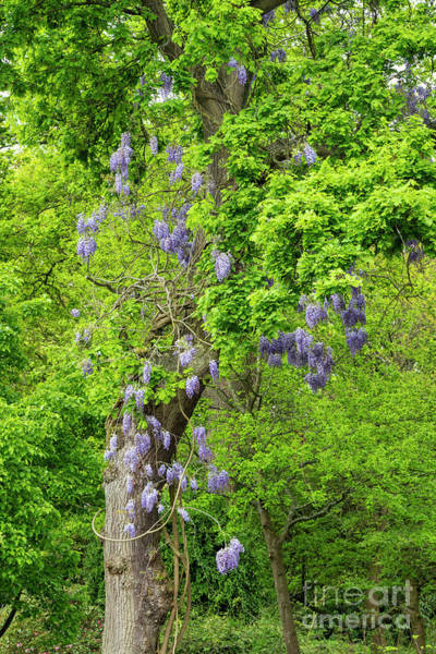 Photograph - Wisteria And Oak by Tim Gainey