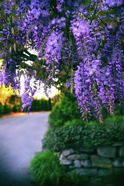 Wall Art - Photograph - Wisteria At Sunset by Jessica Jenney