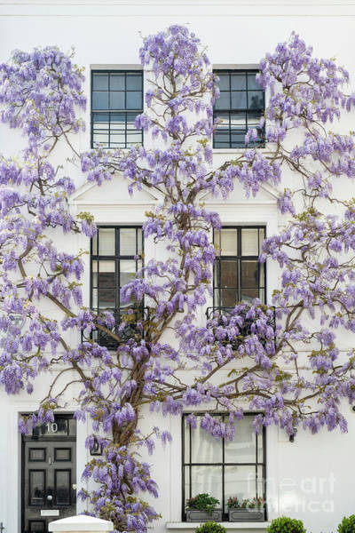 Photograph - Wisteria In Canning Place Kensington by Tim Gainey