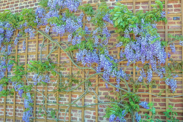 Wisteria Wall Art - Photograph - Wisteria, Chateau De Martainville by Jim Engelbrecht