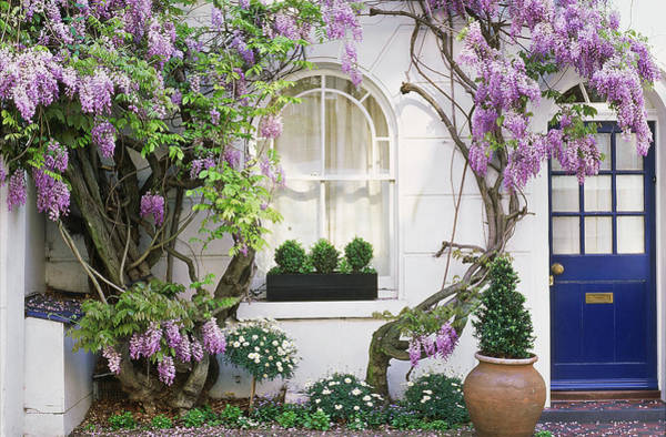 Climbing Vine Photograph - Wisteria Climbing Up Wall Of House With by Linda Burgess