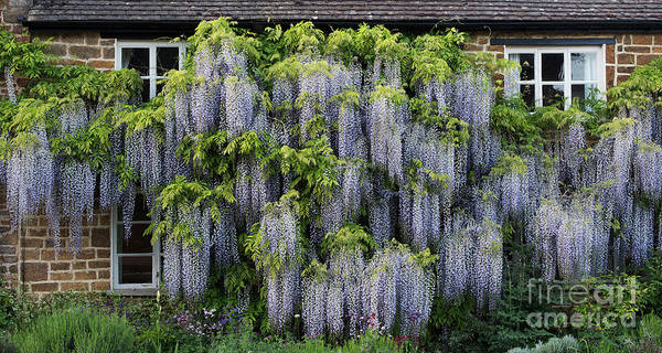 Wall Art - Photograph - Wisteria Cottage by Tim Gainey