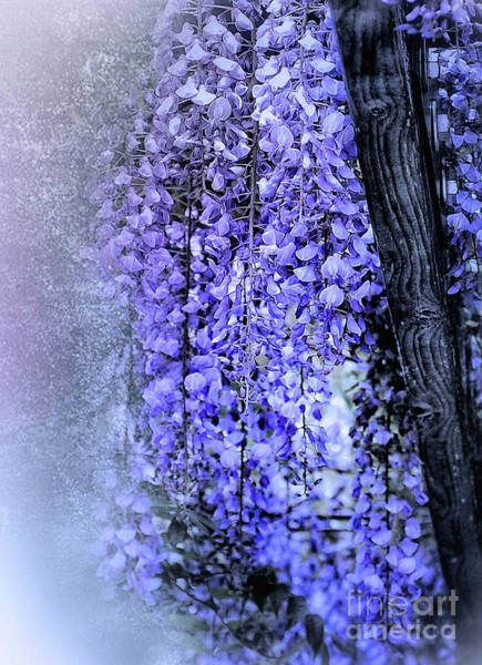 Wall Art - Photograph - Wisteria  by Elaine Manley