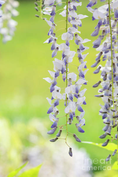 Photograph - Wisteria Floribunda Multijuga Flowers by Tim Gainey