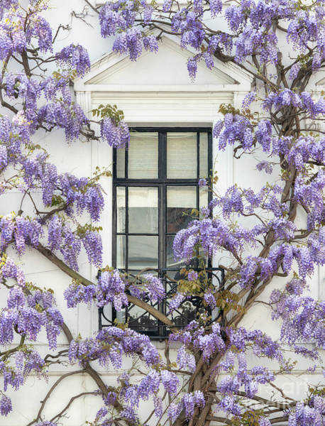 Photograph - Wisteria In Canning Place Kensington London by Tim Gainey
