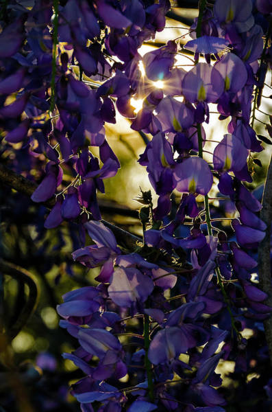 Photograph - Wisteria In Silhouette by Greg Reed
