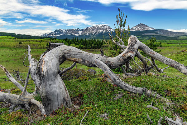 Wall Art - Photograph - Withered Tree In The Rockies by Rick Berk