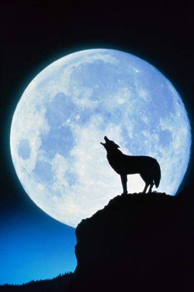 Howling Photograph - Wolf & Moon by Francesco Reginato