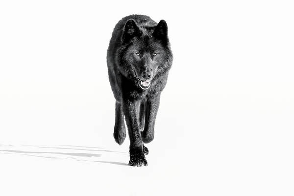 Wall Art - Photograph - Wolf, Black Colour Phase, Typical by John Hyde