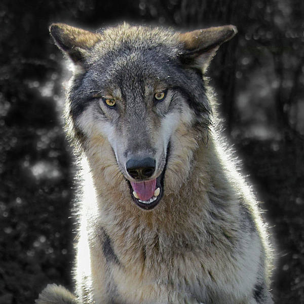Timberwolves Photograph - Wolf Intensity by Jeannee Gannuch