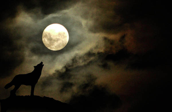 Howling Photograph - Wolf Moon by Barbara Eddowes