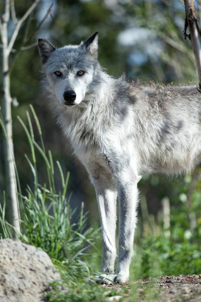 Theme Park Photograph - Wolf by Nathan  Blaney