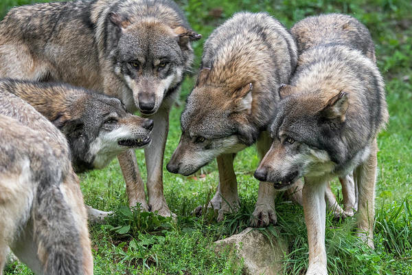 Photograph - Wolf Pack by Arterra Picture Library