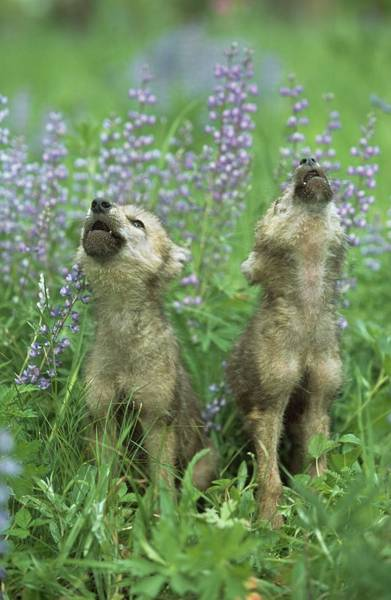 Howling Photograph - Wolf Puppies Howling In Meadow by Design Pics / David Ponton
