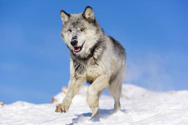 Carnivora Photograph - Wolves by Frank Lukasseck