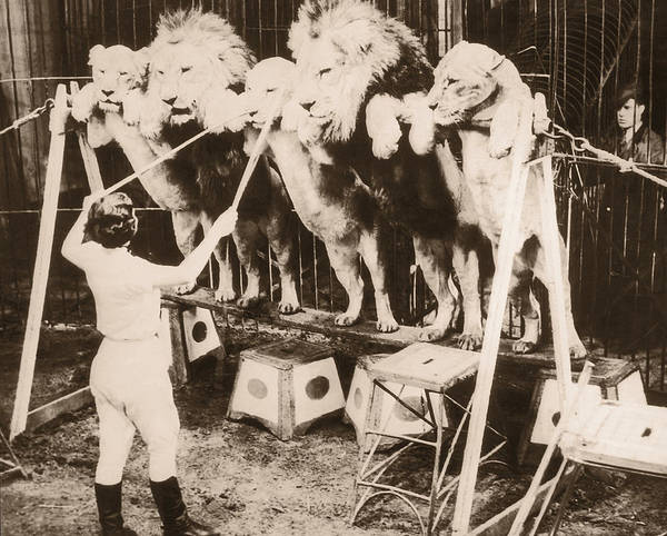 Caucasian Photograph - Woman Training Circus Lions, Rear View by Fpg