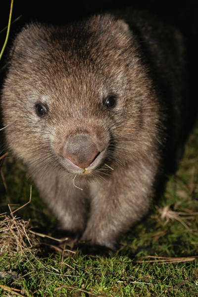 Photograph - Wombat At Night by Rob D Imagery