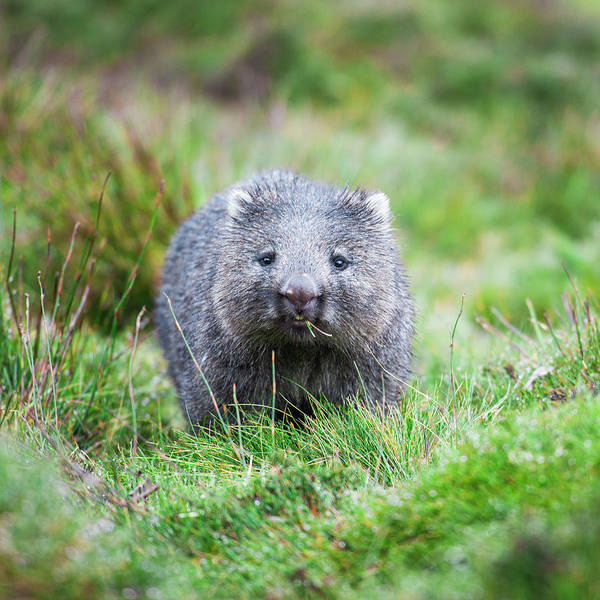 Photograph - Wombat by Rob D Imagery