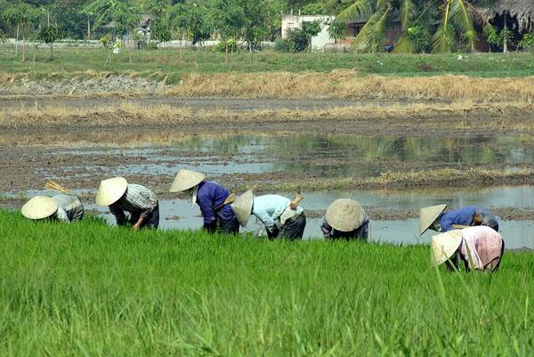 Real People Photograph - Women Harvesting Rice In Paddy Fields by Manya Wayne