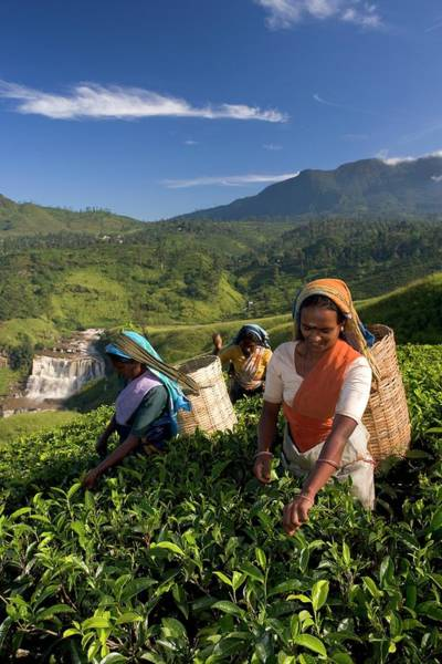 Sunny Side Up Wall Art - Photograph - Women Tea Pickers, Tea Hills, Hill by Gavin Hellier / Robertharding