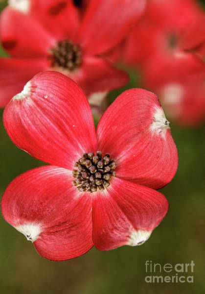 Wall Art - Photograph - Wonderful Red Dogwood by Robert Bales