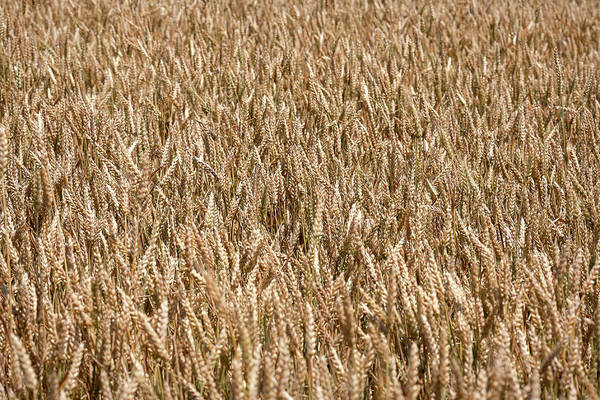Wall Art - Photograph - Wonderful Wheat by Todd Klassy