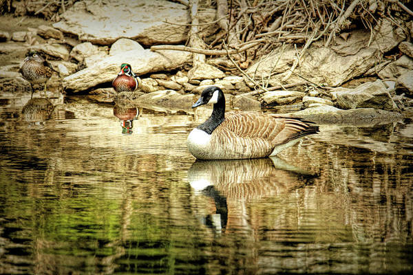 Wall Art - Photograph - Wood Duck And Canada Goose At Fairmont Park Pa by Geraldine Scull