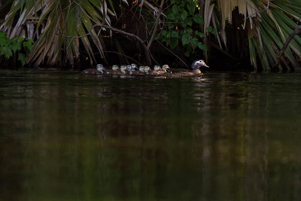 Photograph - Wood Duck And Ducklings by Paul Rebmann