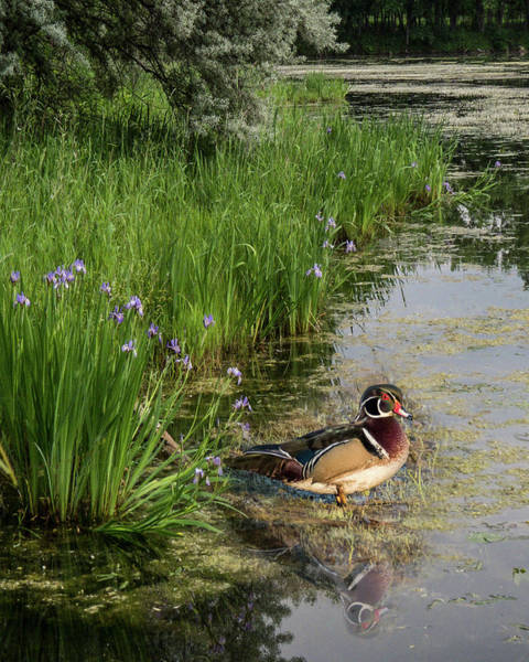 Photograph - Wood Duck And Iris by Patti Deters