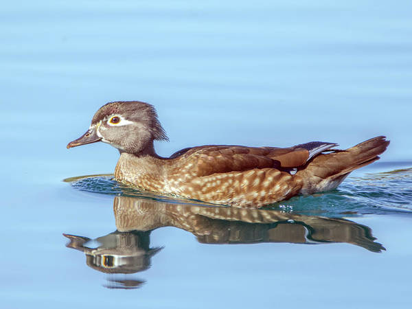 Photograph - Wood Duck Female 0457-111618-1cr by Tam Ryan