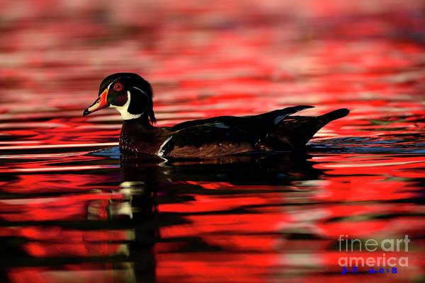 Photograph - Wood Duck Glide by John F Tsumas