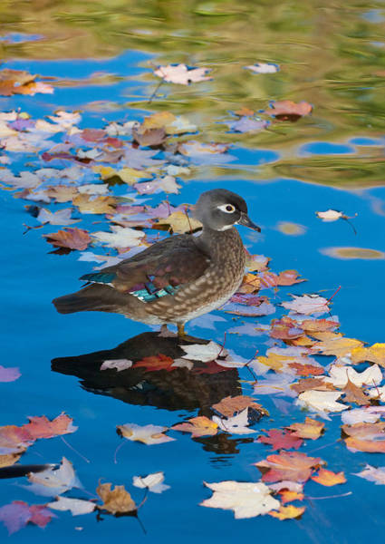 Wall Art - Photograph - Wood Duck In Fall by Michael Lustbader