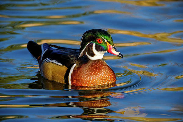 Photograph - Wood Duck by Nicole Young
