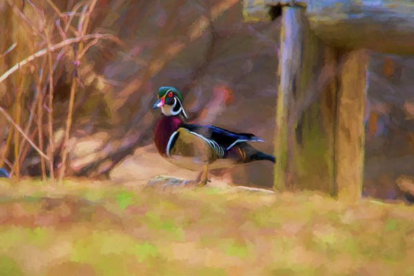 Photograph - Wood Duck On Land   Paintography by Dan Friend