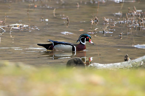 Photograph - Wood Duck Swimming In Water by Dan Friend
