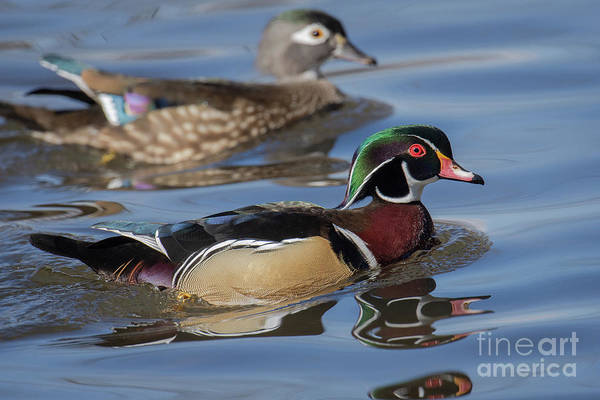 Photograph - Wood Ducks by Craig Leaper