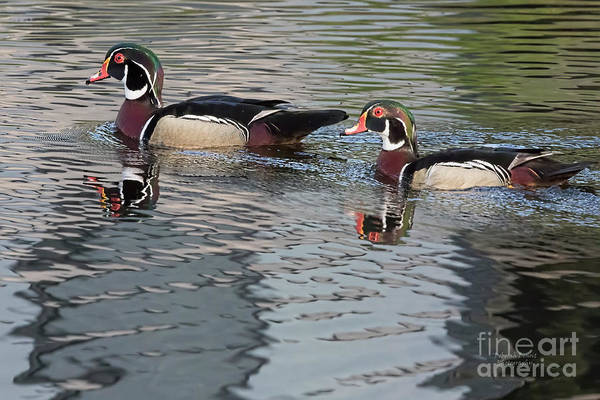 Photograph - Wood Ducks by Deborah Benoit