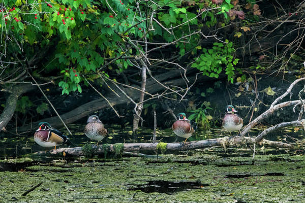 Photograph - Wood Ducks In A Row by Edward Peterson