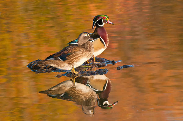 Wall Art - Photograph - Wood Ducks by Michael Lustbader