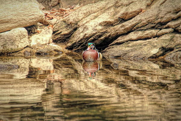Wall Art - Photograph - Wood Ducks Reflections by Geraldine Scull